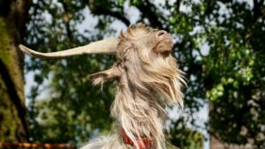 male goat castrate banding