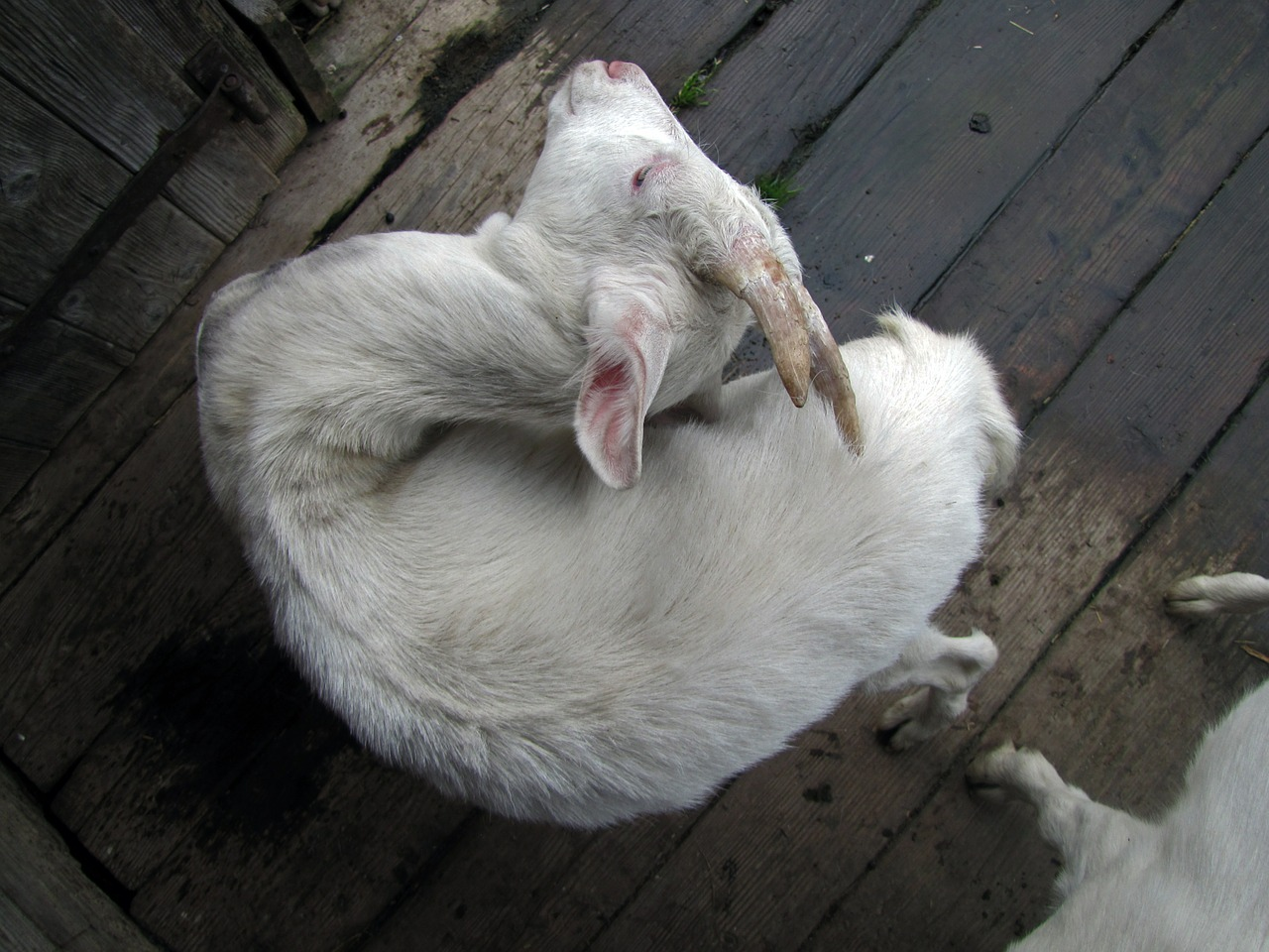 goat dandruff
