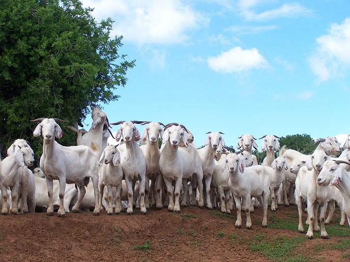 savanna goat herd