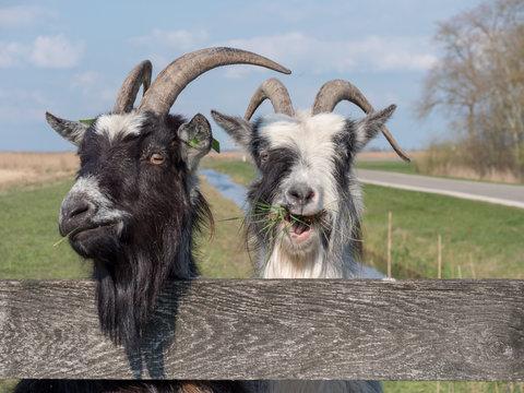 dutch landrace goat eating