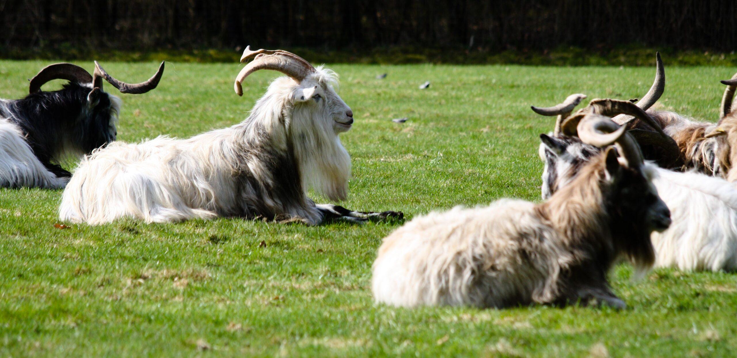 dutch landrace goats