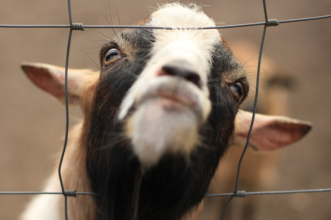 Goat in a fence