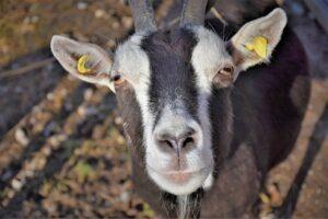 goat dewormer