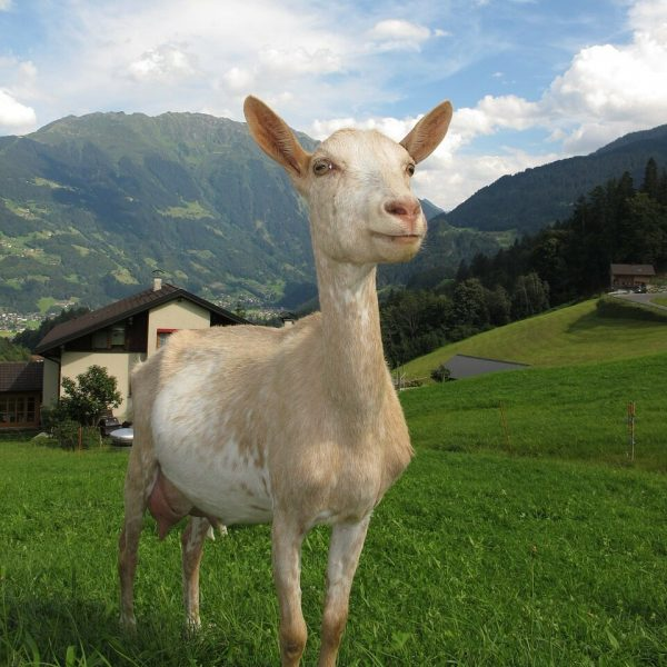goat in nature
